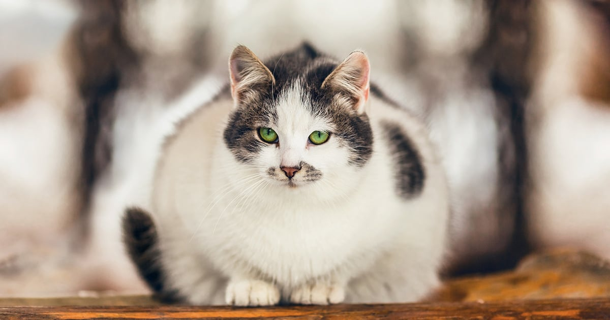 Overweight Cat Sitting Down | Diamond Pet Foods