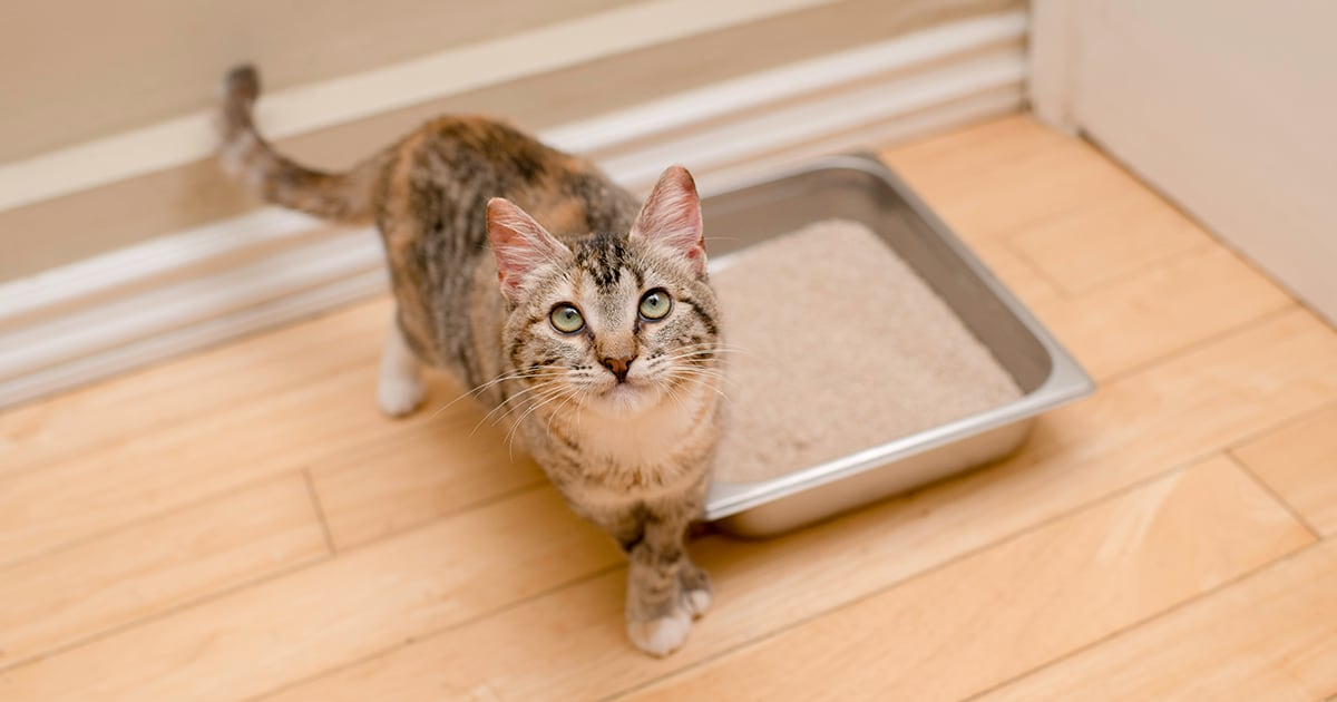 Cat Near Litter Box | Diamond Pet Foods