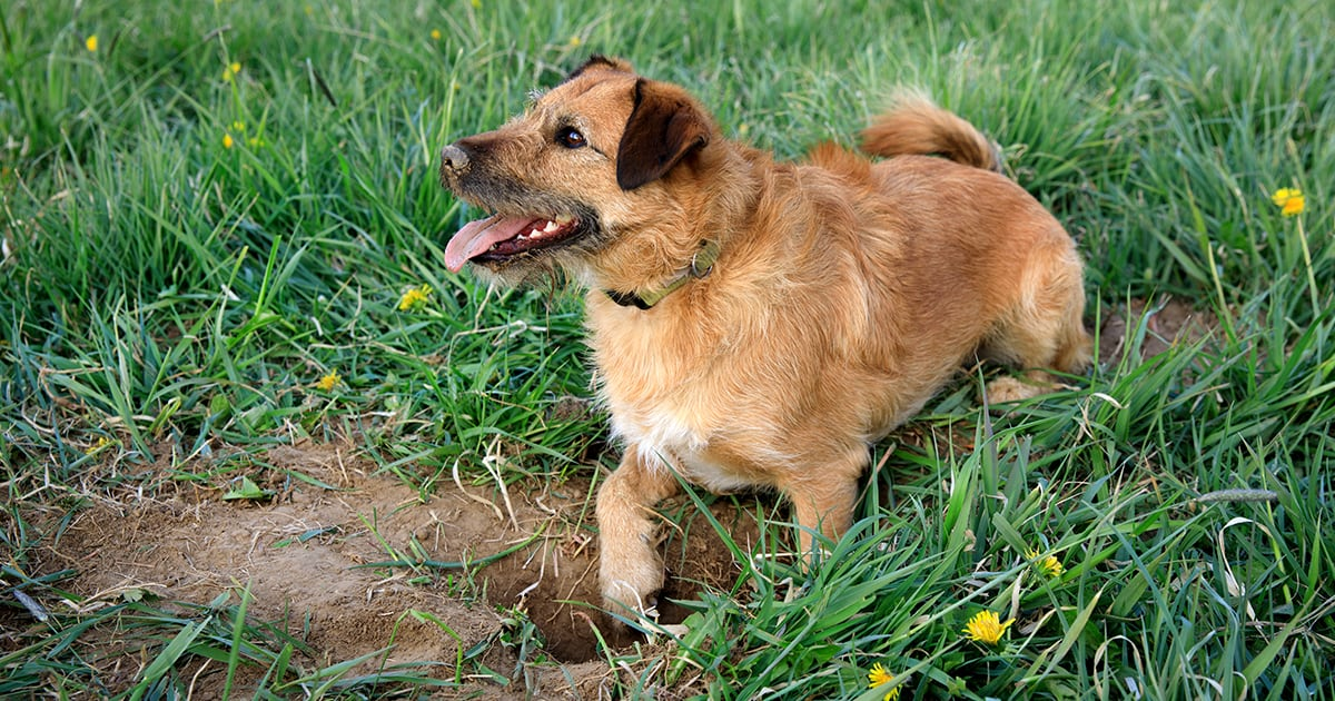 A dog with their tongue out digging a hole outside in the grass