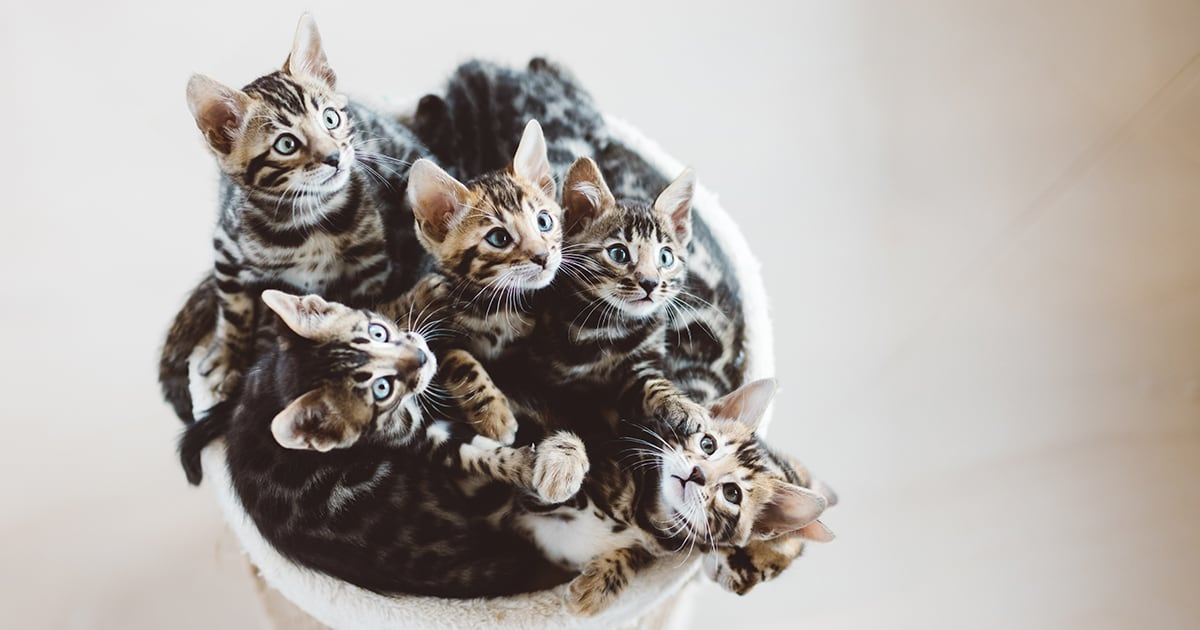 Kittens in a Basket | Diamond Pet Foods