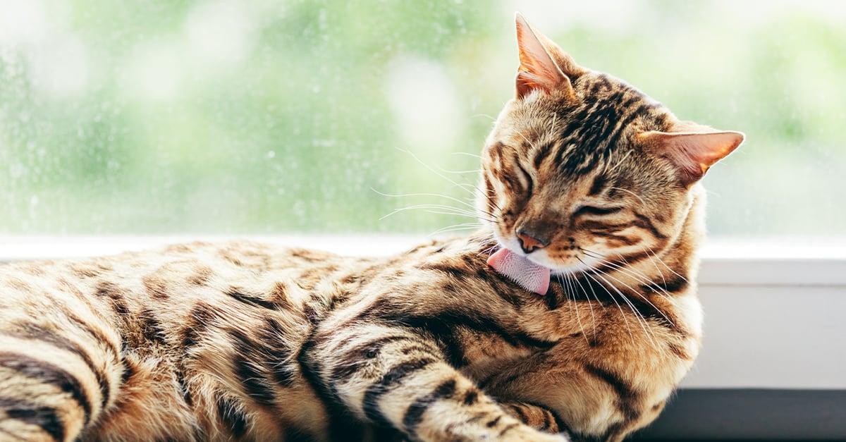 A Cat Licking Themselves | Diamond Pet Foods