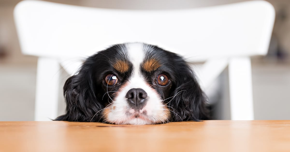 Dog Resting Chin on the Table | Diamond Pet Foods