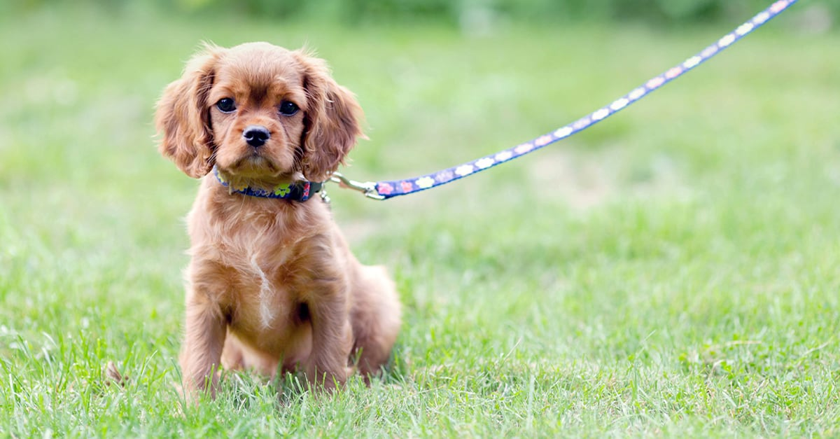 Puppy on Leash | Diamond Pet Foods