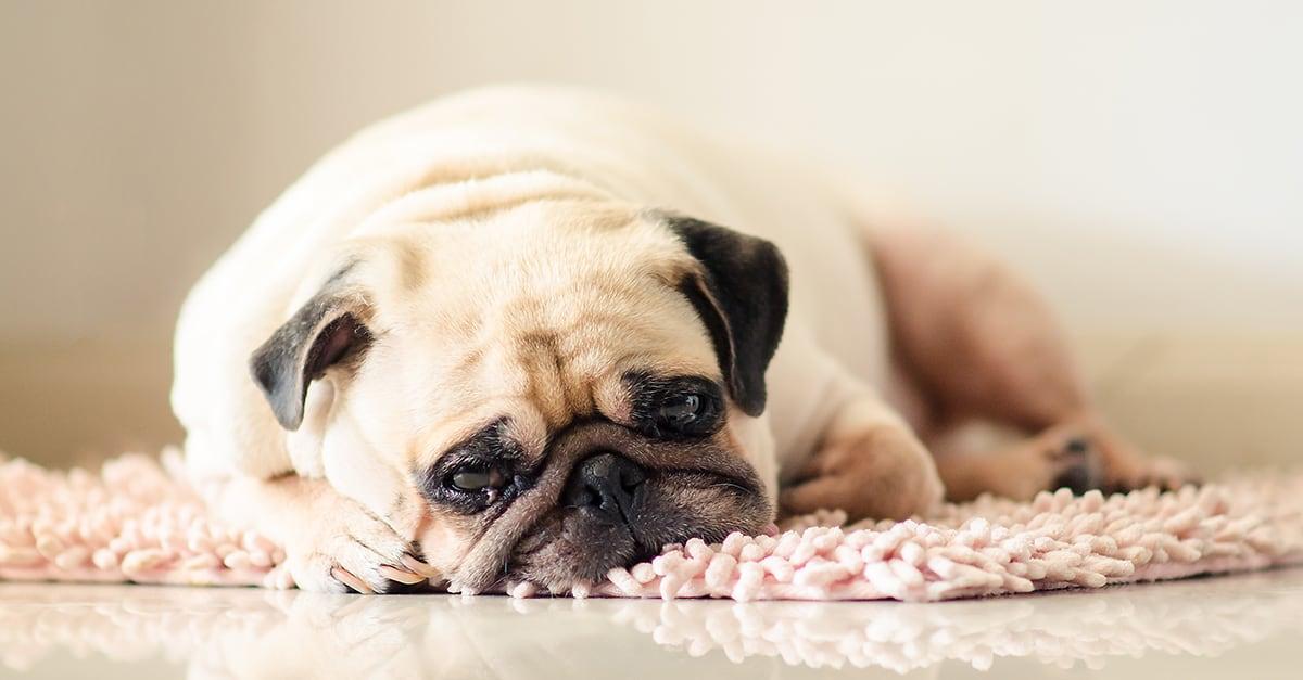 Dog Looking Sad | Diamond Pet Foods
