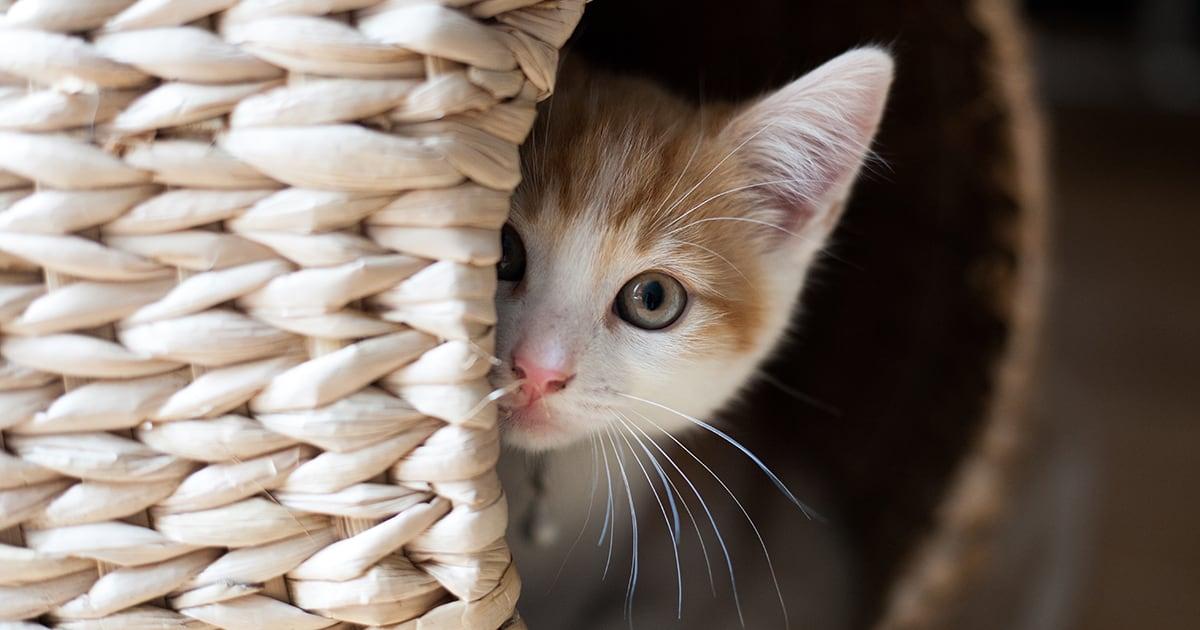 Kitten Hiding in Basket | Diamond Pet Foods