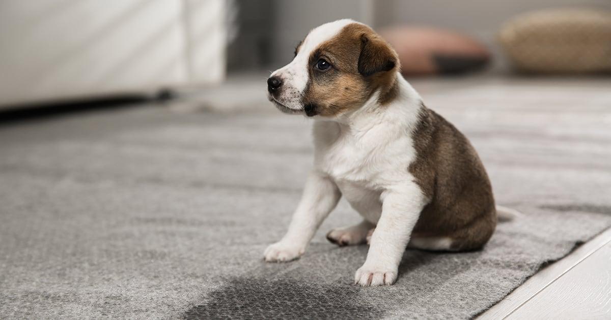 Puppy Sitting on the Floor | Diamond Pet Foods