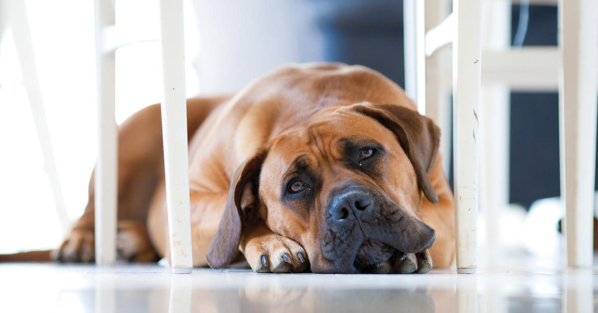 A Dog Lying on the Floor | Diamond Pet Foods