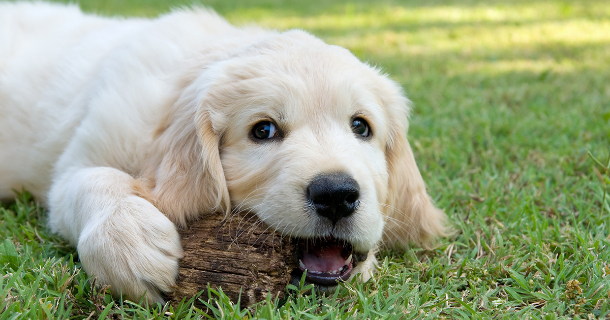 A Puppy Laying on Grass Chewing an Object | Diamond Pet Foods