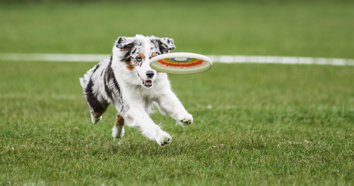A dog chasing a frisbee | Diamond Pet Foods
