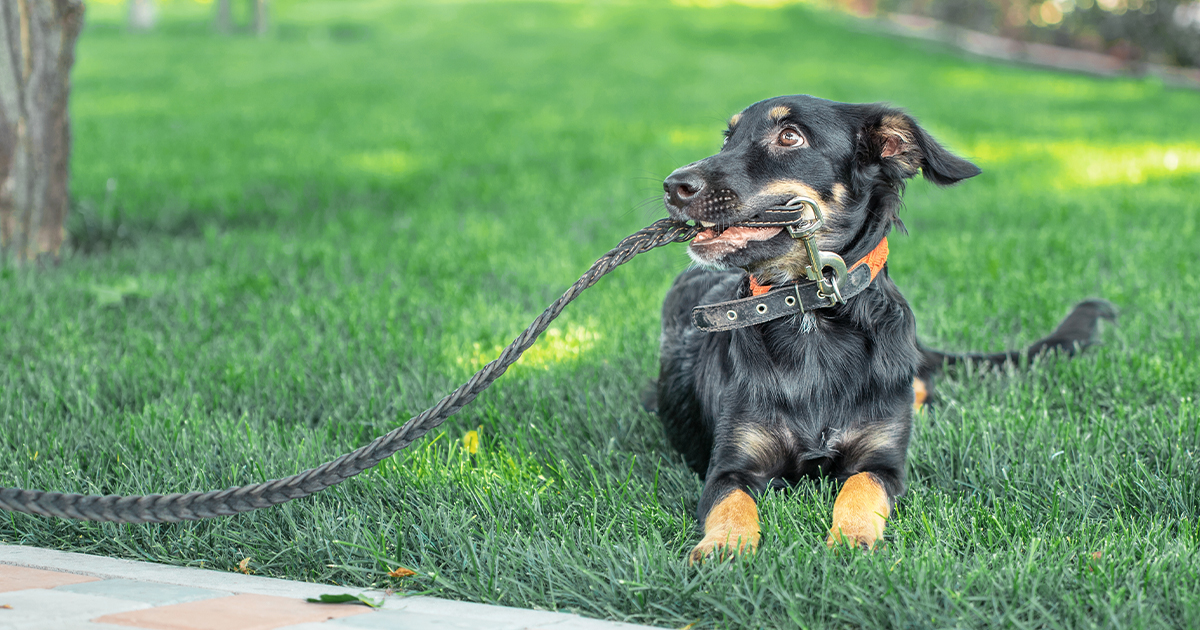 Puppy Holding Leash in Mouth | Diamond Pet Foods